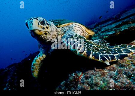 Large turtle resting on top of a wreck, oblivious to divers, Isla Mujeres, Mexico - Stock Photo