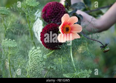 Womans hand holding fresh flowers and ferns at allotment - Stock Photo