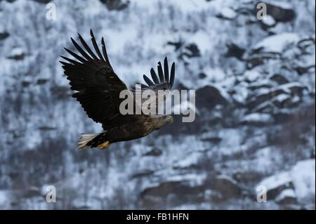 White tailed eagle in flight, Lofoten and Vesteralen Islands, Norway - Stock Photo