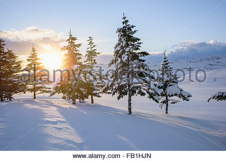 The sun shining through snow covered trees, Hveragerdi, Iceland - Stock Photo