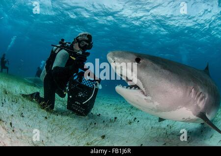 Underwater view of scuba diver on seabed feeding tiger shark, Tiger Beach, Bahamas - Stock Photo