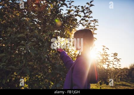 Side view of girl in orchard picking apple from tree - Stock Photo