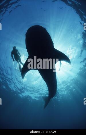 Underwater view from below a careless whale shark of scuba diver swimming alongside, backlit, Isla Mujeres, Mexico - Stock Photo