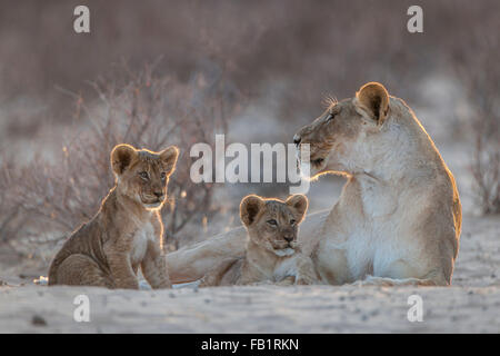Lioness (Panthera leo) with two cubs, Kgalagadi Transfrontier Park, Northern Cape, South Africa - Stock Photo