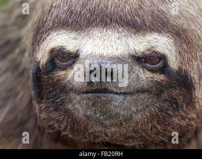 Brown-throated three-toed Sloth (Bradypus variegatus) portrait, Pacaya Samiria National Reserve, Yanayacu River, Peru