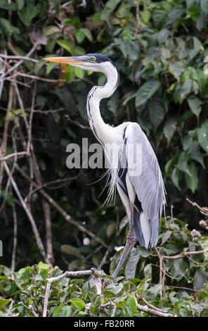 Cocoi Heron (Ardea cocoi), Pacaya Samiria National Reserve, Yanayacu River, Amazon area, Peru - Stock Photo