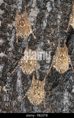 A colony of proboscis bats (Rhynchonycteris naso) roosting on a tree bark in rainforest, Pacaya Samiria National - Stock Photo