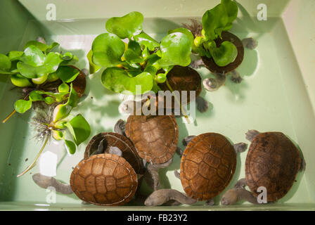 Roti island snake-necked turtle (Chelodina mccordi) at breeding farm. - Stock Photo