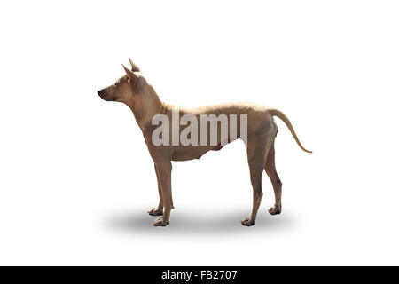 Left side of Thai brown short fur dog in isolated white background - Stock Photo