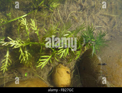 Small wandering snail (Radix peregra) and small great ramshorn snail (Planorbarius corneus) on water violet (Hottonia - Stock Photo