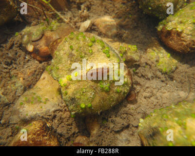 Water slater (Asellus aquaticus) on a large pebble with green globular jelly lumps (probably colonies of blue-green - Stock Photo