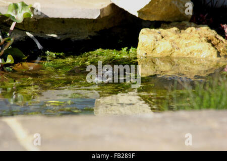 Two common frogs (Rana temporaria) and a lump of frogspawn in a garden pond - Stock Photo