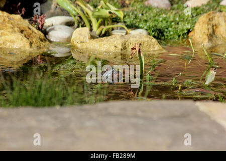 Mating common frogs (Rana temporaria) in garden pond in sunshine - Stock Photo