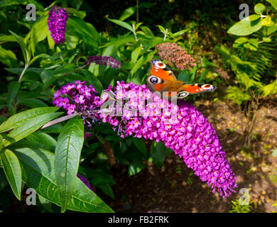 European Peacock Butterfly Aglais io feeding on Buddleja, or Buddleia plant in late summer - Stock Photo