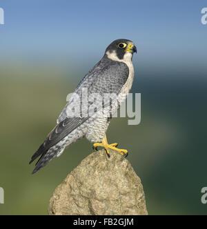Peregrine - Falco peregrinus - Stock Photo