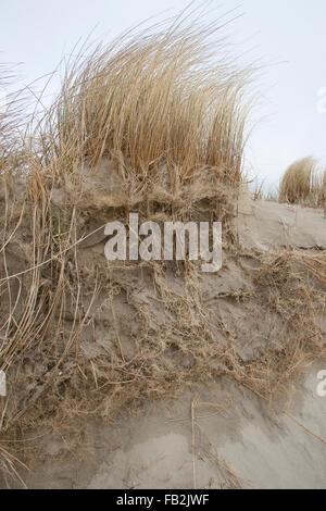 Beach Grass, Marram Grass, roots, coast protection, Strand-Hafer, Strandhafer, Wurzeln, Dünenschutz, Ammophila arenaria - Stock Photo