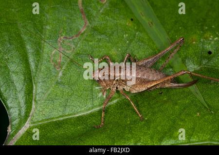 Dark bushcricket, female, Gewöhnliche Strauchschrecke, Weibchen mit Legebohrer, Pholidoptera griseoaptera, Thamnotrizon - Stock Photo