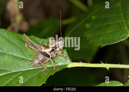 Dark bushcricket, male, Gewöhnliche Strauchschrecke, Männchen, Pholidoptera griseoaptera, Thamnotrizon cinereus - Stock Photo