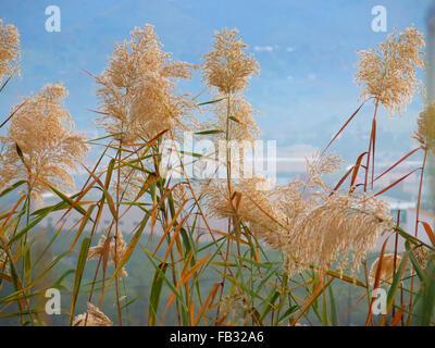 Seeding tall green grass closeup against blue sky - Stock Photo