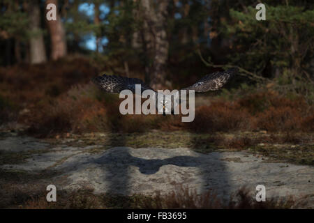 Great Grey Owl / Bartkauz ( Strix nebulosa ) in frontal flight surrounded by boreal vegetation, nice shadows. - Stock Photo