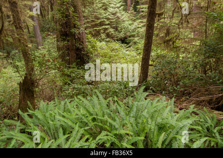 Dense vegetation on the forest floor of a rain forest in Pacific Rim National Park, Vancouver Island, West Canada - Stock Photo