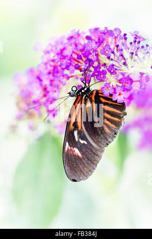 Heliconius melpomene butterfly - Stock Photo