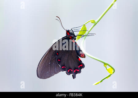 Black and red swallowtail butterfly - Stock Photo