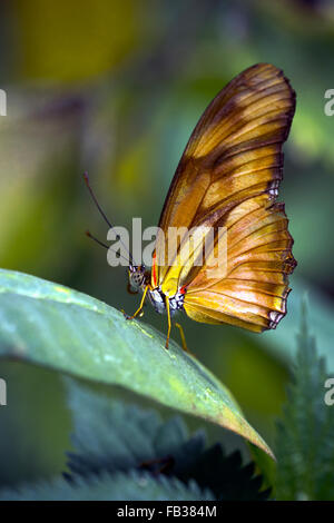 Julia heliconian (Dryas iulia, Dryas julia) butterfly - Stock Photo