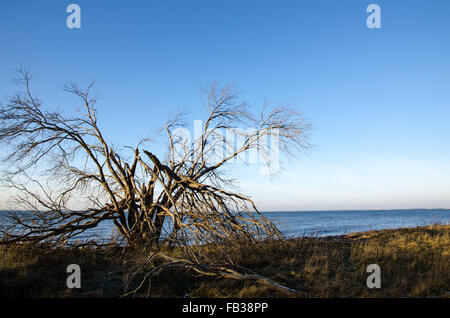 Big tree at the coast is damaged by the storm - Stock Photo