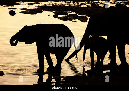 Group of elephants silhouetted as they drink at a waterhole at dusk in Namibia - Stock Photo