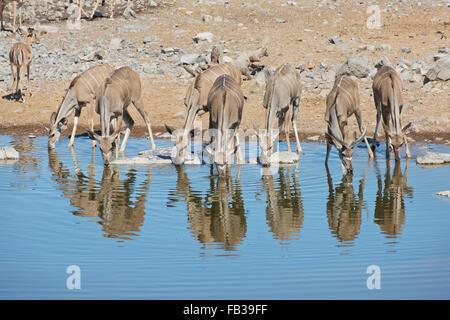 Herd of Greater Kudu (Tragelaphus strepsiceros) drinking at a waterhole in Etosha National park, Namibia - Stock Photo