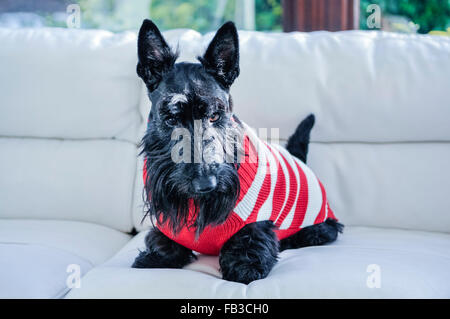 A Scottish terrier scottie dog sitting on a white sofa wearing a Christmas jumper - Stock Photo