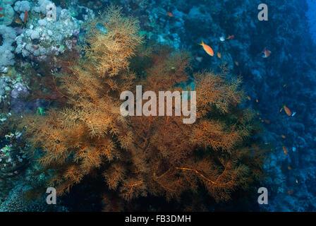 Black coral (Antipathes dichotoma). Antipathidae,  Sharm el sheikh, Red Sea, Egypt - Stock Photo