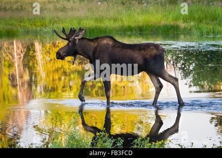 A bull moose walks through a pond in Grand Teton National Park, Wyoming. - Stock Photo
