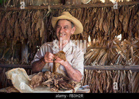 Dry Tobacco Leaves, Man sorting Dried Tobacco Leaves in Tobacco Drying House, Vinales Valley, Pinar del Rio Cuba - Stock Photo