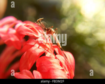 close up Mosquito on red flower - Stock Photo