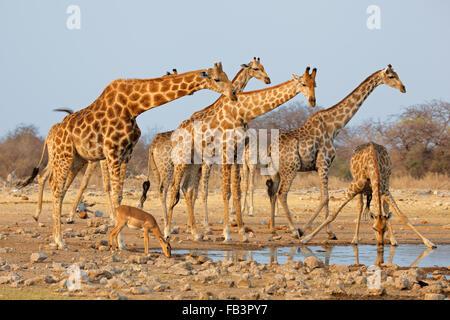 Giraffe herd (Giraffa camelopardalis) at a waterhole, Etosha National Park, Namibia - Stock Photo