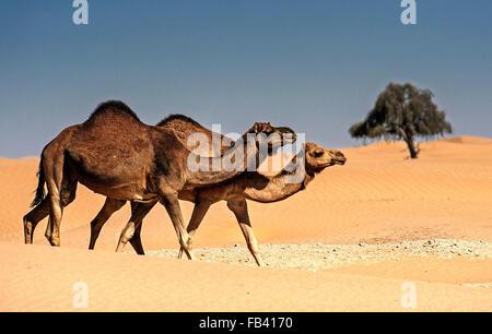 Camels in the landscape of Empty Quarter, Rub al Khali Desert, Oman - Stock Photo