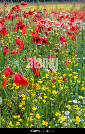A field of spring flowers in Castiglione del Lago Province of Perugia - Stock Photo