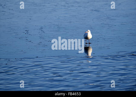 Berlin, Germany. 9th Jan, 2016. A gull standing on a thin ice sheet on Wannsee lake in Berlin, Germany, 9 January - Stock Photo