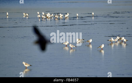 Berlin, Germany. 9th Jan, 2016. Gulls standing on a thin ice sheet on Wannsee lake in Berlin, Germany, 9 January - Stock Photo