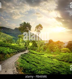 Green tea plantations in Nuwara Eliya and clouds - Stock Photo