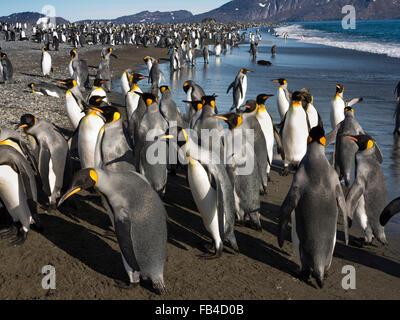 South Atlantic, South Georgia, Bay of Isles, king penguins on Salisbury Plain beach - Stock Photo
