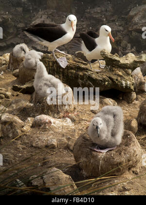 South Atlantic, Falklands, New Island, adult Black Browed Albatrosses with chicks in nest - Stock Photo