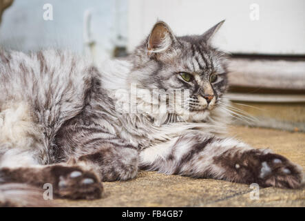 Long-haired Persian cat - Stock Photo