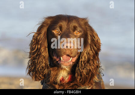 Domestic Dog, Working Cocker Spaniel type, portrait, photographed at Aldeburgh, Suffolk, England, Dec 2015 - Stock Photo