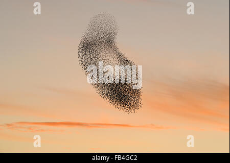Starling flock (Sturnus vulgaris) at sunset, grouping in the sky caused by presence of predators, with pink sunset - Stock Photo