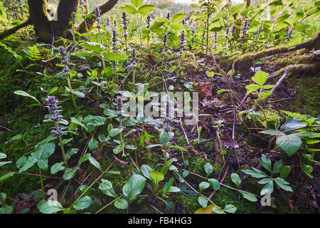 Bugle, Ajuga reptans in flower - Stock Photo