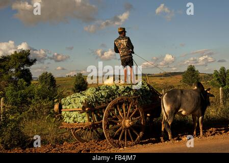 Burmese  farmers drive oxen wagons laden with cabbages to an awaiting truck with will take the harvested vegetables - Stock Photo