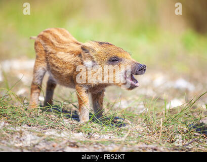 Wild piglet making calls on summer day - Stock Photo